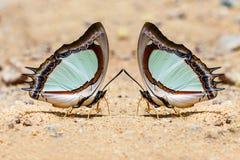 Indische Gele vlinder Nawab Stock Foto's