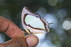 Indische Gele vlinder Nawab Stock Fotografie