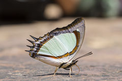 Indische Gele vlinder Nawab Stock Foto