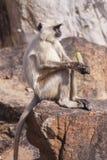 Indische graue Langurs oder Hanuman-Langurs albern herum (Semnopithecus HNO Lizenzfreie Stockbilder