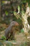 Indische grijze mongoes in Sri Lanka Stock Afbeeldingen