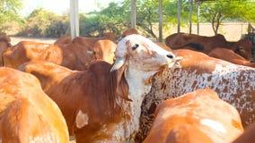 Indische heilige koe Royalty-vrije Stock Foto