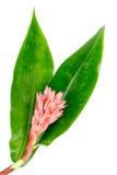 Indische Hoofdgember - Costus-speciosus Royalty-vrije Stock Foto's