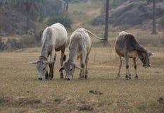 Indische Kühe lassen weiden Stockfotografie