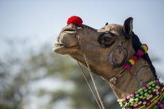 Indische kameel in traditionele kleding Stock Foto's