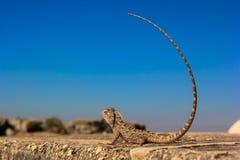 Indische kameleon blauwe hemel Stock Fotografie