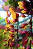 Indische klokwijnstok in bloem stock afbeelding