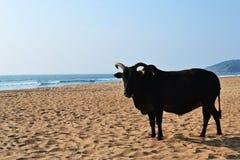 Indische koe op een gouden strand stock foto's