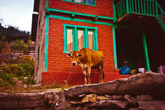 Indische Koe op een leiband Stock Fotografie