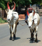 Indische koeien Royalty-vrije Stock Afbeelding