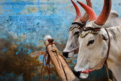 Indische koeien Stock Afbeelding
