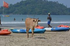 Indische koeien Stock Foto