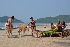 Indische koeien Stock Fotografie