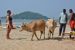 Indische koeien Royalty-vrije Stock Foto's