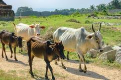 Indische Koeien op de weg van Hampi Royalty-vrije Stock Foto's
