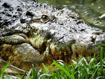 Indische krokodil royalty-vrije stock afbeelding