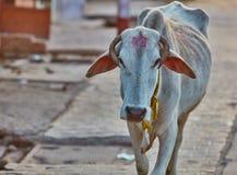 Indische Kuh Lizenzfreies Stockfoto