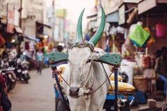 Indische Kuh, die an der öffentlichen Straße arbeitet lizenzfreie stockfotografie
