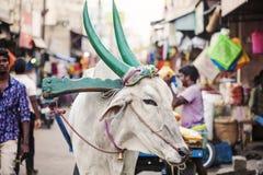 Indische Kuh, die an der öffentlichen Straße arbeitet lizenzfreies stockbild