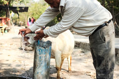 Indische Kuh trinkt Wasser Stockbilder