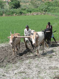 Indische landbouwersploegen met ossen Royalty-vrije Stock Afbeelding