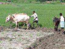 Indische landbouwersploegen met ossen Stock Fotografie