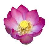 Indische lotusbloembloem Stock Foto's