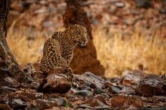 Indische luipaard in de aardhabitat Luipaard het rusten royalty-vrije stock foto