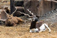 Indische männliche Antilope des schwarzen Dollars oder Antilope cervicapra Lizenzfreies Stockfoto
