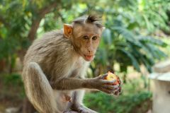Indische macaques, bonnet macaques, of lat Macacaradiata royalty-vrije stock fotografie
