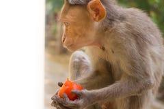 Indische macaques, bonnet macaques, of lat Macacaradiata stock afbeeldingen