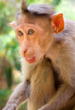 Indische macaques, bonnet macaques, of lat Macacaradiata stock foto