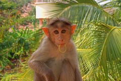 Indische Makaken, Mützenmakaken oder Lat Macaca radiata Stockfoto