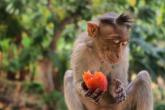 Indische Makaken, Mützenmakaken oder Lat Macaca radiata Lizenzfreie Stockfotografie