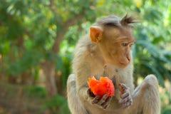 Indische Makaken, Mützenmakaken oder Lat Macaca radiata Lizenzfreies Stockbild
