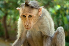 Indische Makaken, Mützenmakaken oder Lat Macaca radiata Stockbilder
