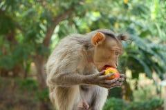 Indische Makaken, Mützenmakaken oder Lat Macaca radiata Lizenzfreies Stockfoto