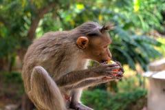 Indische Makaken, Mützenmakaken oder Lat Macaca radiata Stockfotos