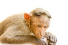 Indische Makaken, Mützenmakaken oder Lat Macaca radiata Stockbild