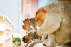 Indische Makaken Macaca radiata Affefamilie Lizenzfreies Stockbild
