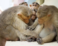 Indische Makaken Macaca radiata Affefamilie Stockfotos