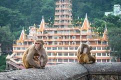 Indische Makakenaffen Stockbilder