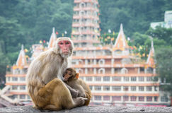 Indische Makakenaffen Lizenzfreie Stockfotografie