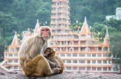 Indische Makakenaffen Lizenzfreies Stockbild