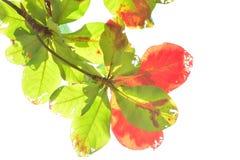 Indische Mandel im Herbst Stockbild
