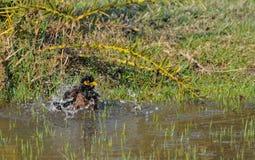 Indische Myna-vogel (Acridotheres-tristis) Royalty-vrije Stock Foto