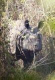 Indische Neushoorn, индийский носорог, unicornis носорога стоковые фотографии rf