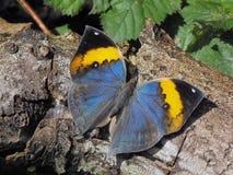 Indische Oakleaf-Vlinder Royalty-vrije Stock Foto's