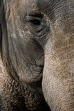 Indische olifant Stock Foto