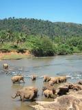 Indische olifant. Stock Afbeeldingen